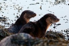 Otters outside Pier House